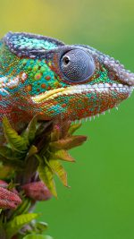 Colored Lizard