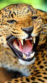 Crazy Angry Leopard