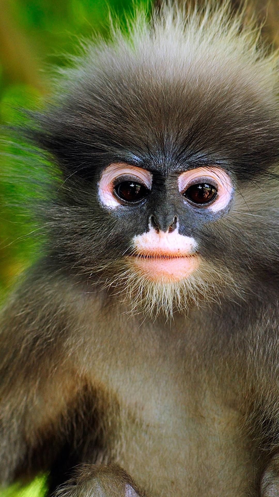 Dusky leaf monkey, Khao Sam Roi Yot National Park, Thailand ((C) Thomas Marent/Visuals Unlimited/Corbis)