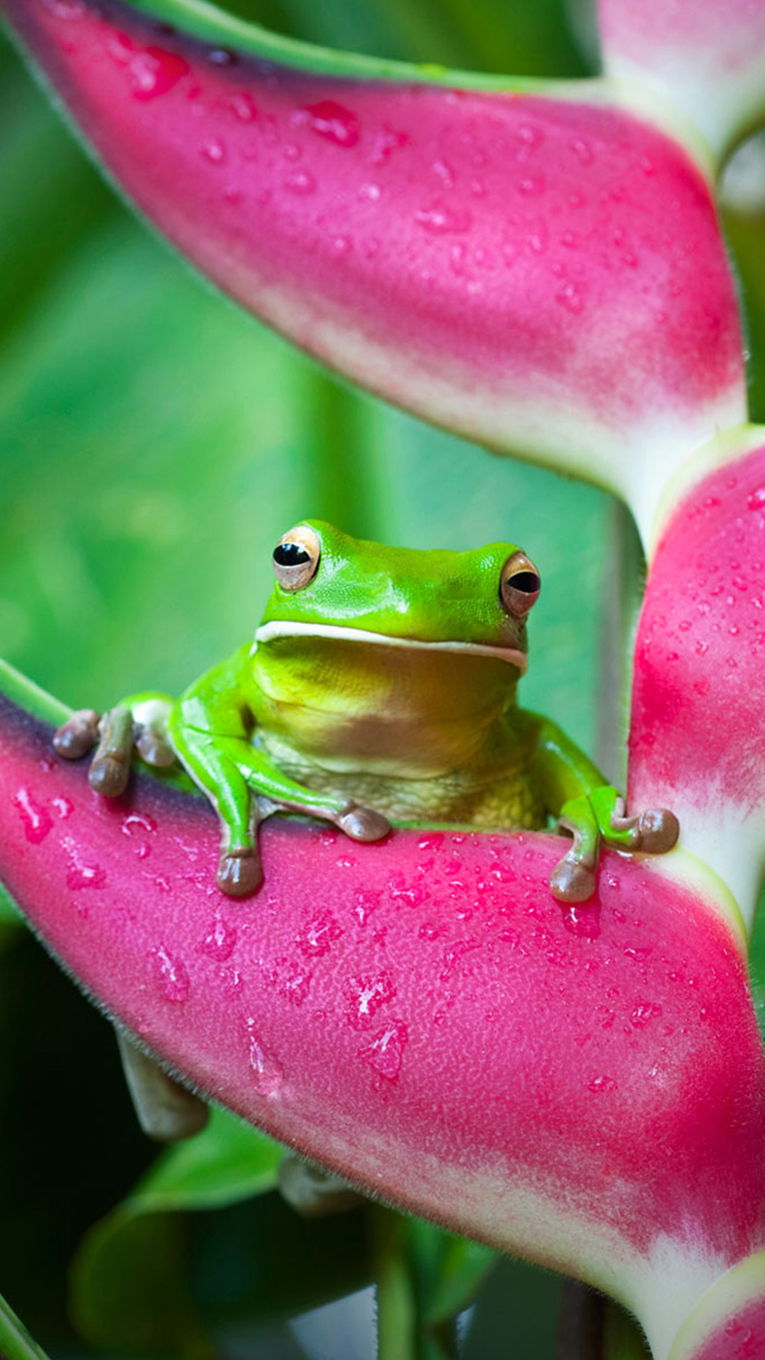 White-lipped tree frog (Litoria infrafrenata) on a heliconia flower in Cairns, Queensland, Australia ((C) Andrew Watson/ Getty Images)