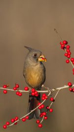 Desert cardinals eating possumhaw holly berries in Starr County, Texas ((C) Bill Draker/Alamy)