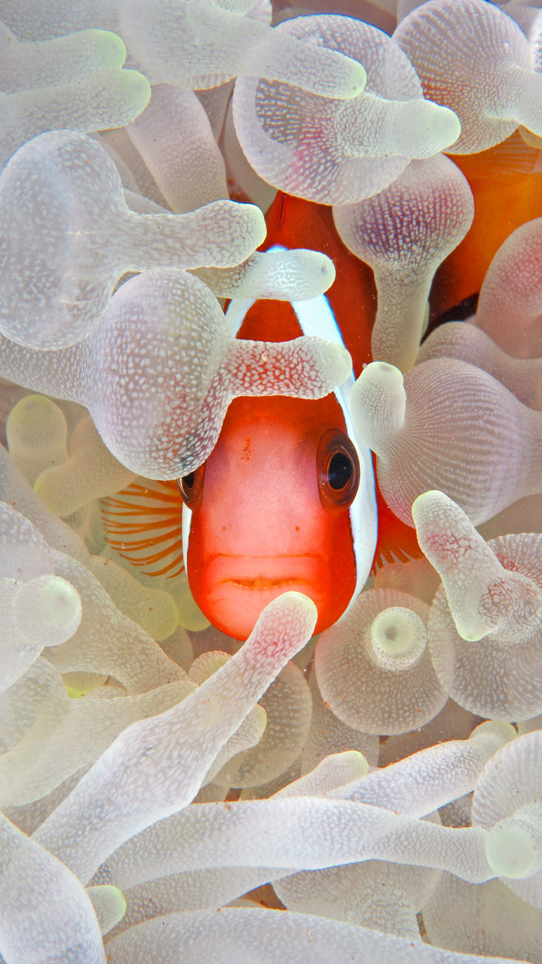 Red and black anemonefish in bleaching anemone in the Lembeh Strait of North Sulawesi, Indonesia ((C) Jeff Yonover/Tandem Stock)