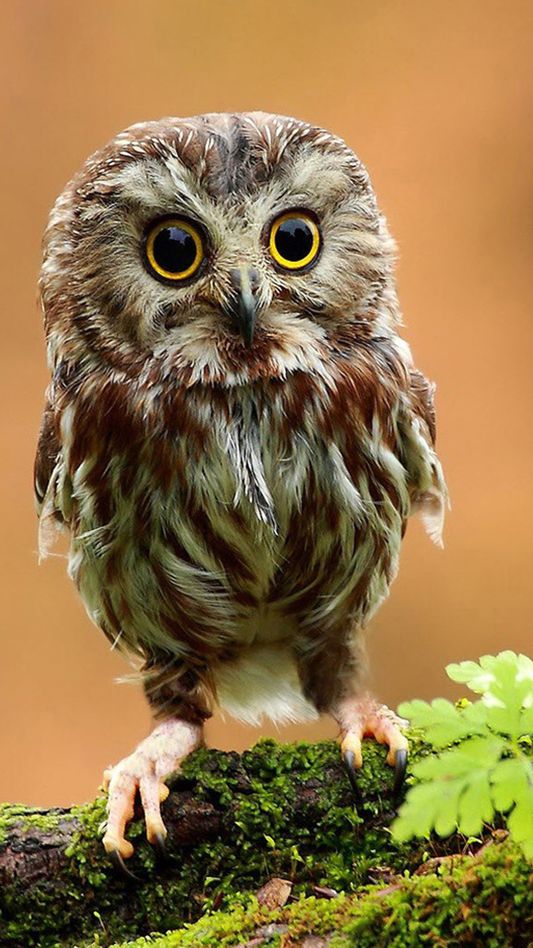 Little Owl In Gods Eyes