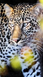 Perfect Leopard