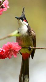 Primula Bird