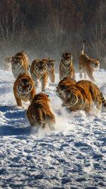 Snow Tiger Grou