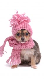 Warm Chihuahua