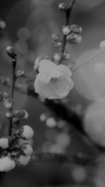 Apricot Flower Bud Dark Spring Nature Twigs Tree