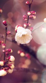 Apricot Flower Bud Flare Spring Nature Twigs Tree