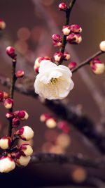 Apricot Flower Bud Spring Nature Twigs Tree