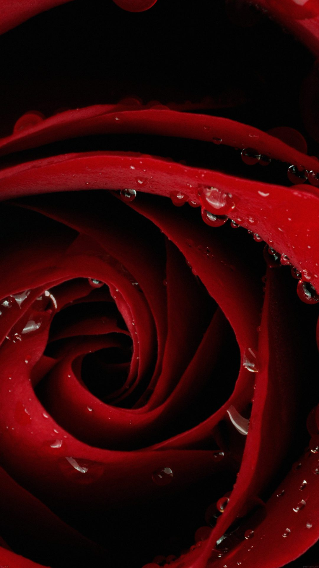 Beautiful Red Rose Flower Nature