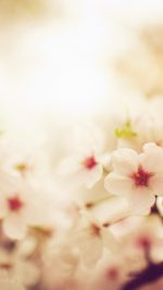 Blossom Cherry Spring Red Sakura Nature Flower