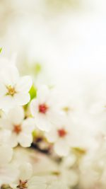 Blossom Cherry Spring Sakura Nature Flower