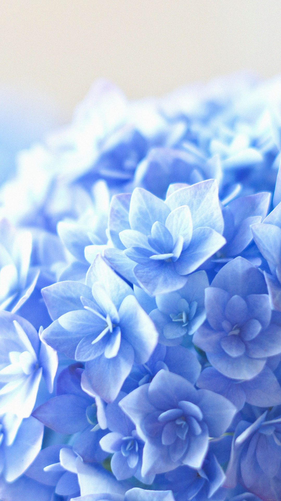 Blue Hortensia Flower Beautiful Nature
