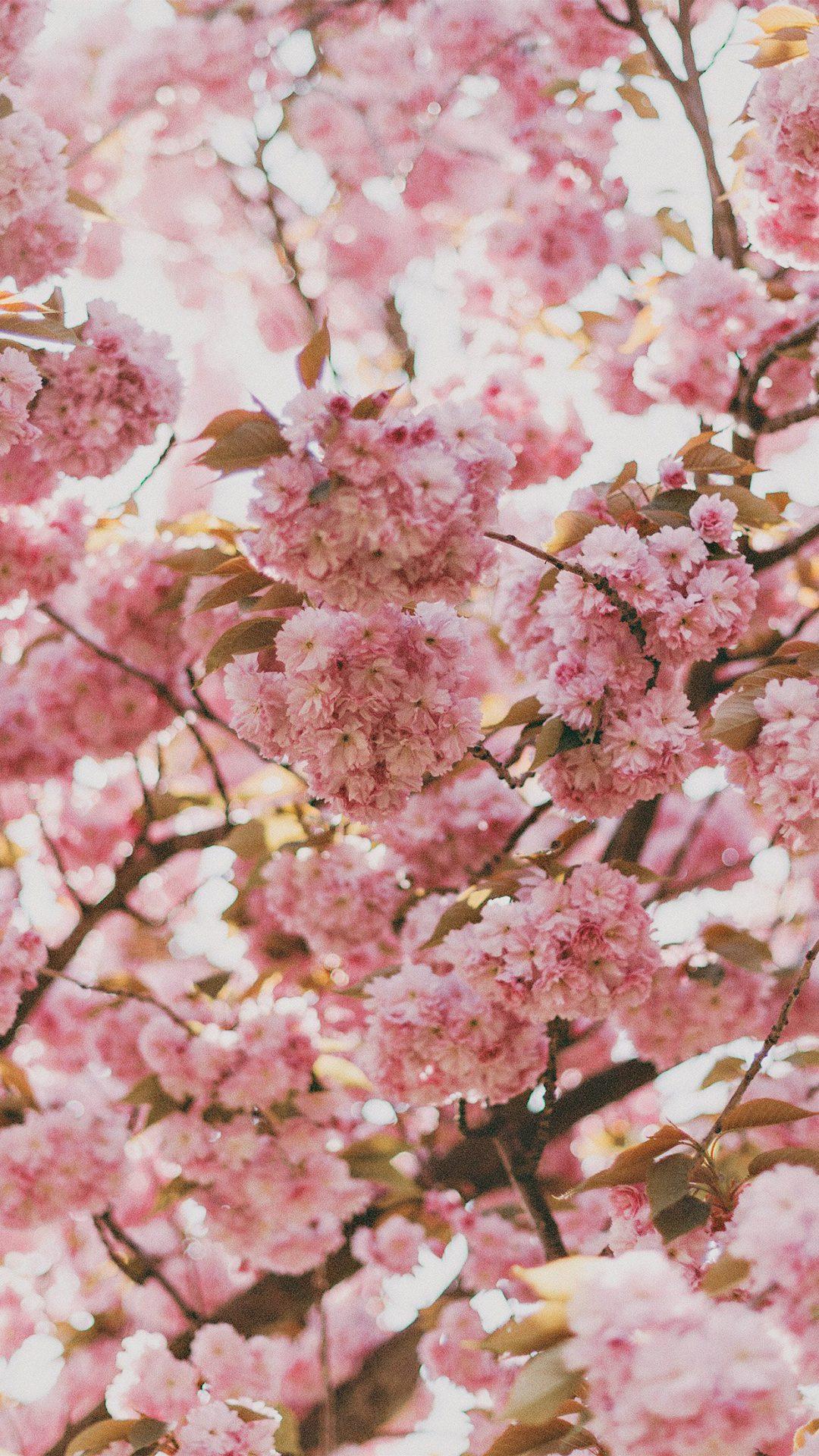 Cherry Blossoms Sakura Japan