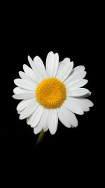 Daisy Flower Dark Nature