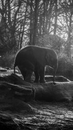 Elephant Dark Bw Animal Cute Nature Baby