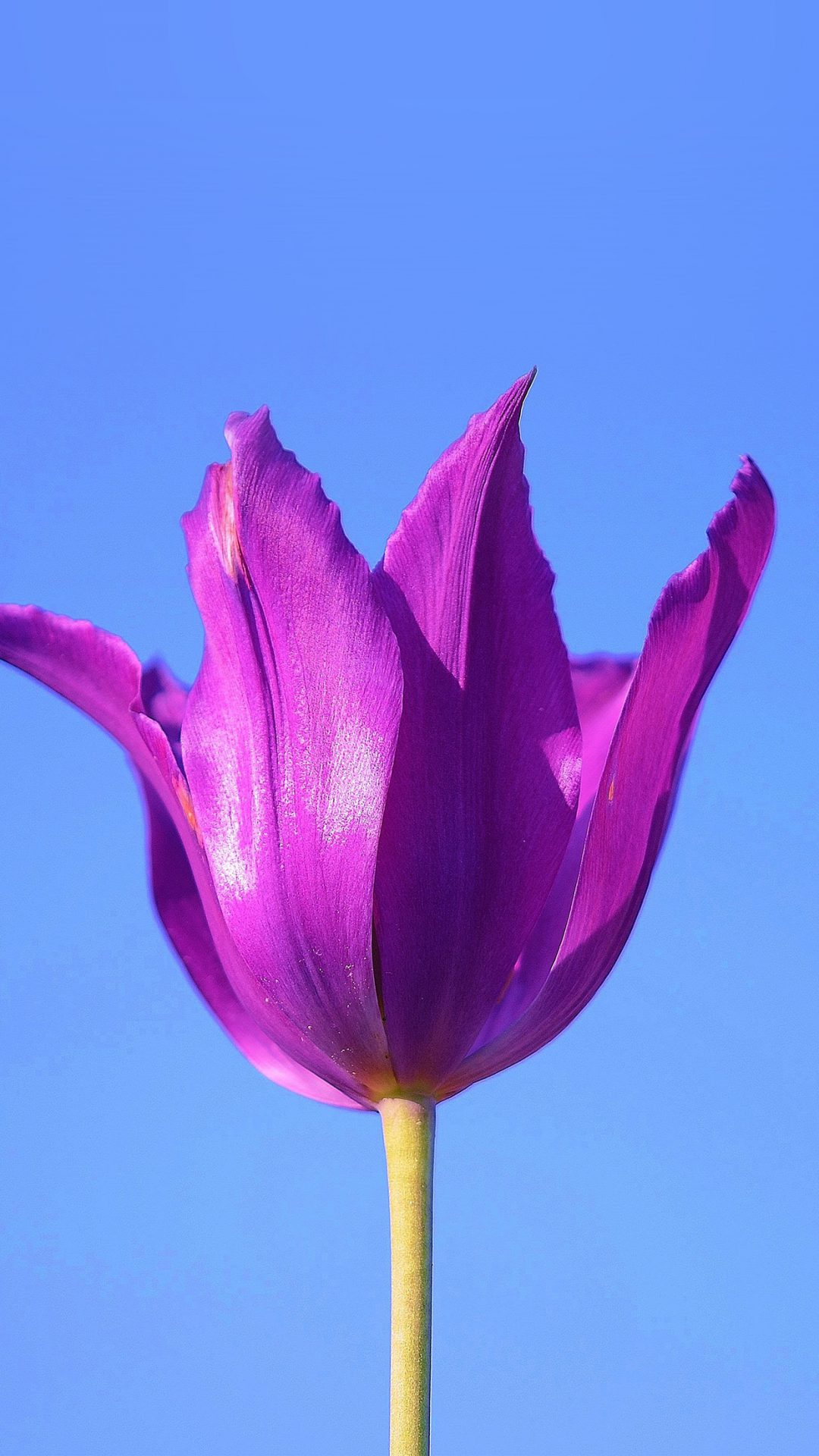Purple Tulip Flower Blue Sky