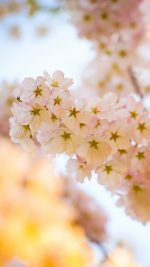 Flower Blossom Cherry Tree Nature