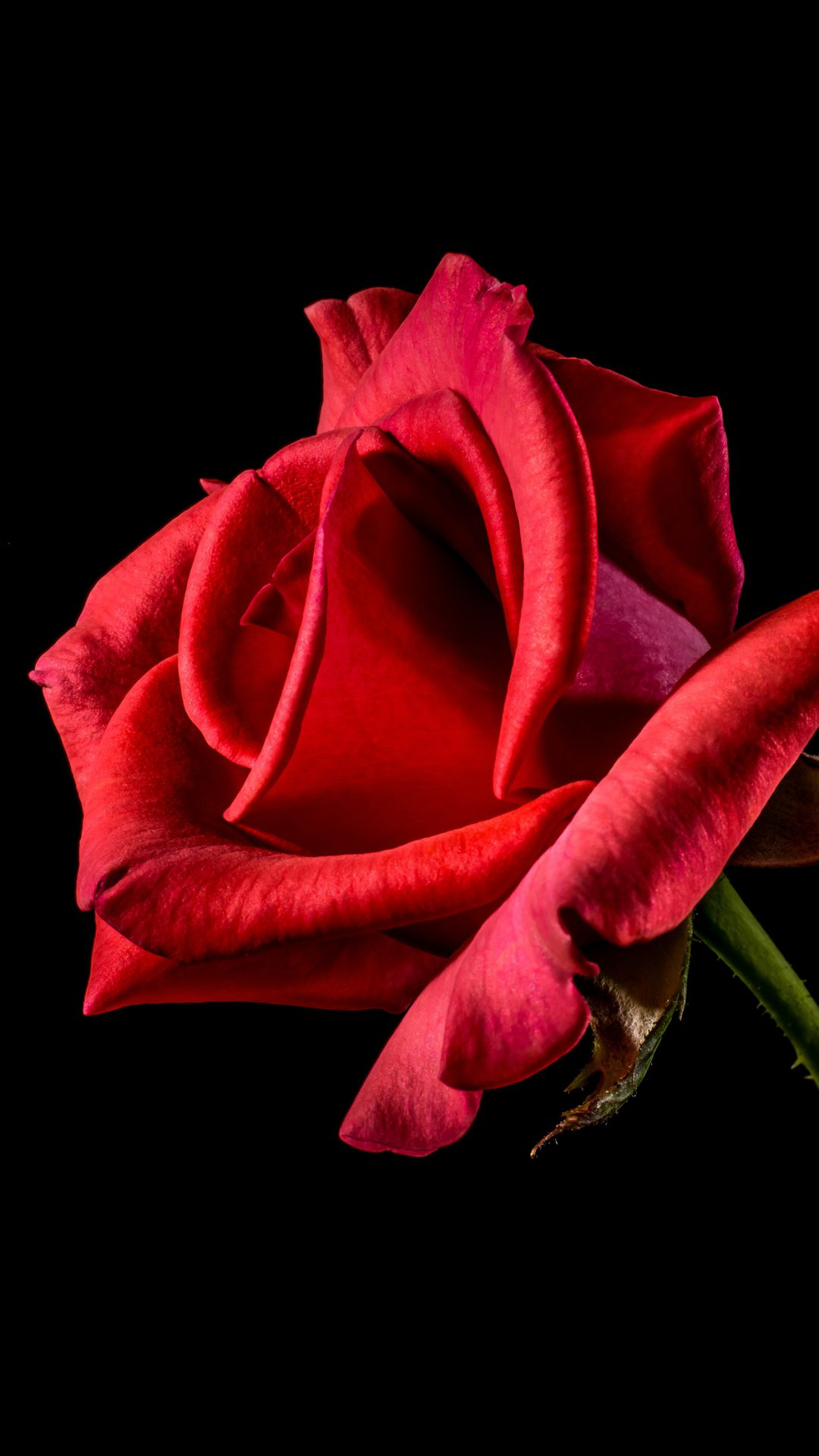 Flower Rose Red Dark Beautiful Best Nature