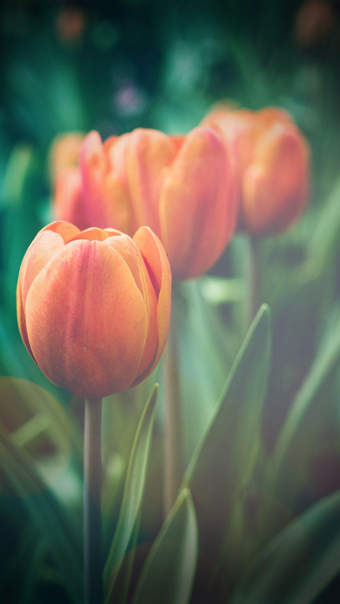 Flower Tulip Green Vignette Love Nature