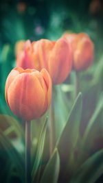 Flower Tulip Green Vignette Love Nature