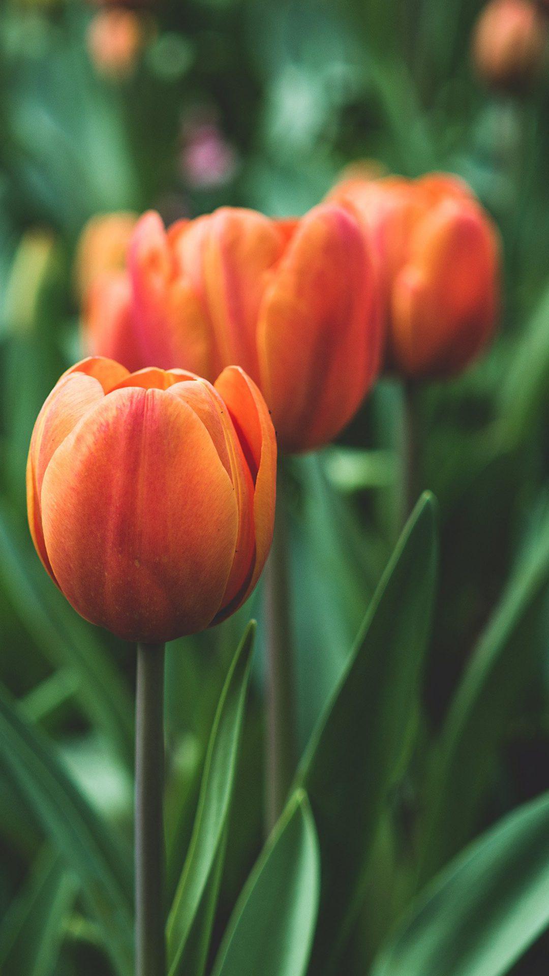 Flower Tulip Red Love Nature