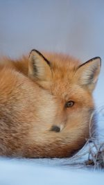 Fox Cold Winter Red Nature