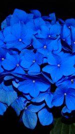 Hydrangea Blossom Flower Blue Dark Nature