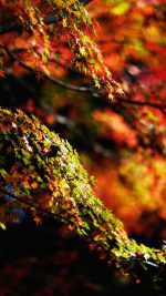 Japanese Maple Tree Fall Nature