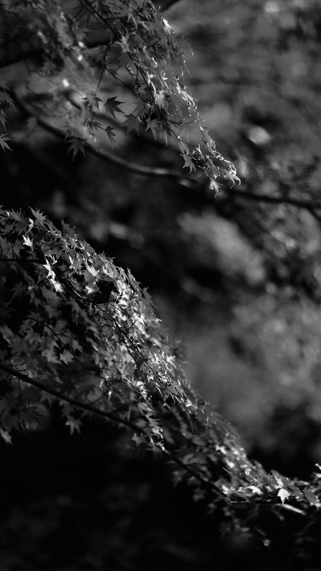 Japanese Maple Tree Fall Nature Black And White