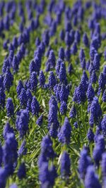 Muscari Field Flower Summer Nature