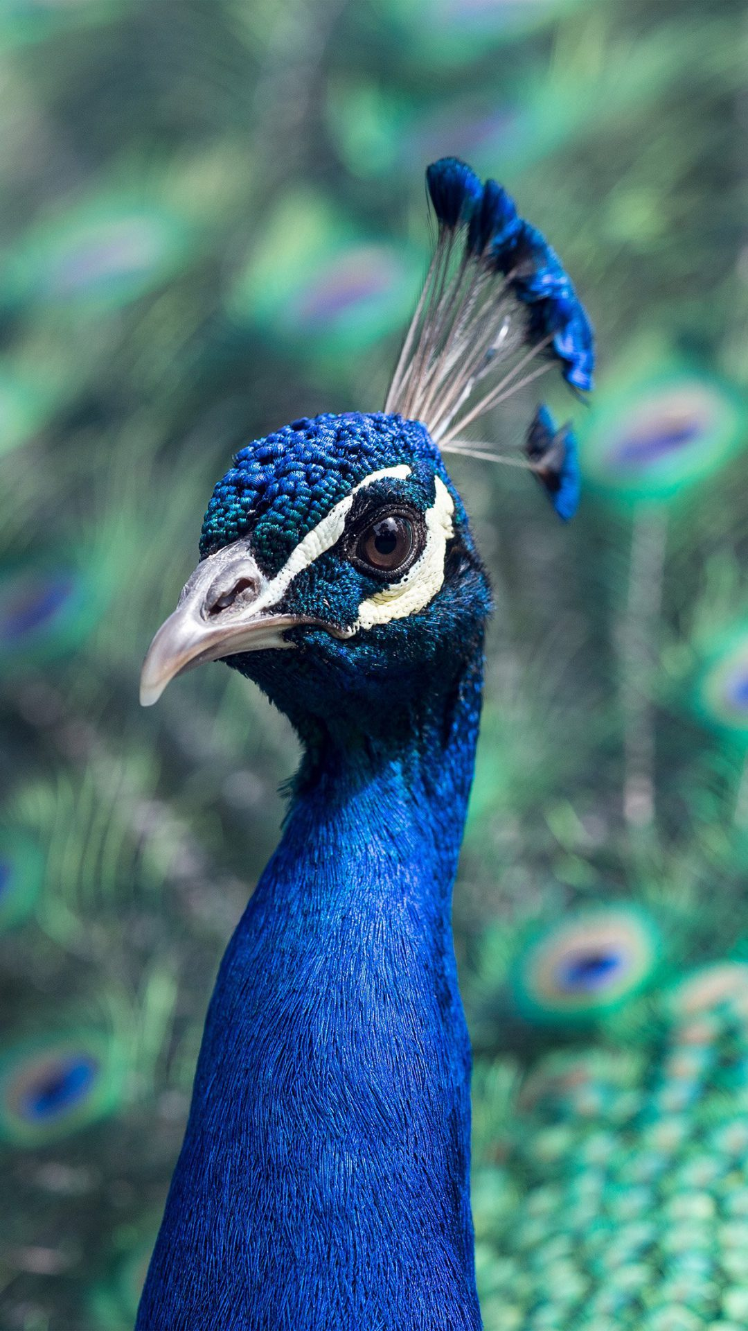 Peacock Animal Bird Nature Blue