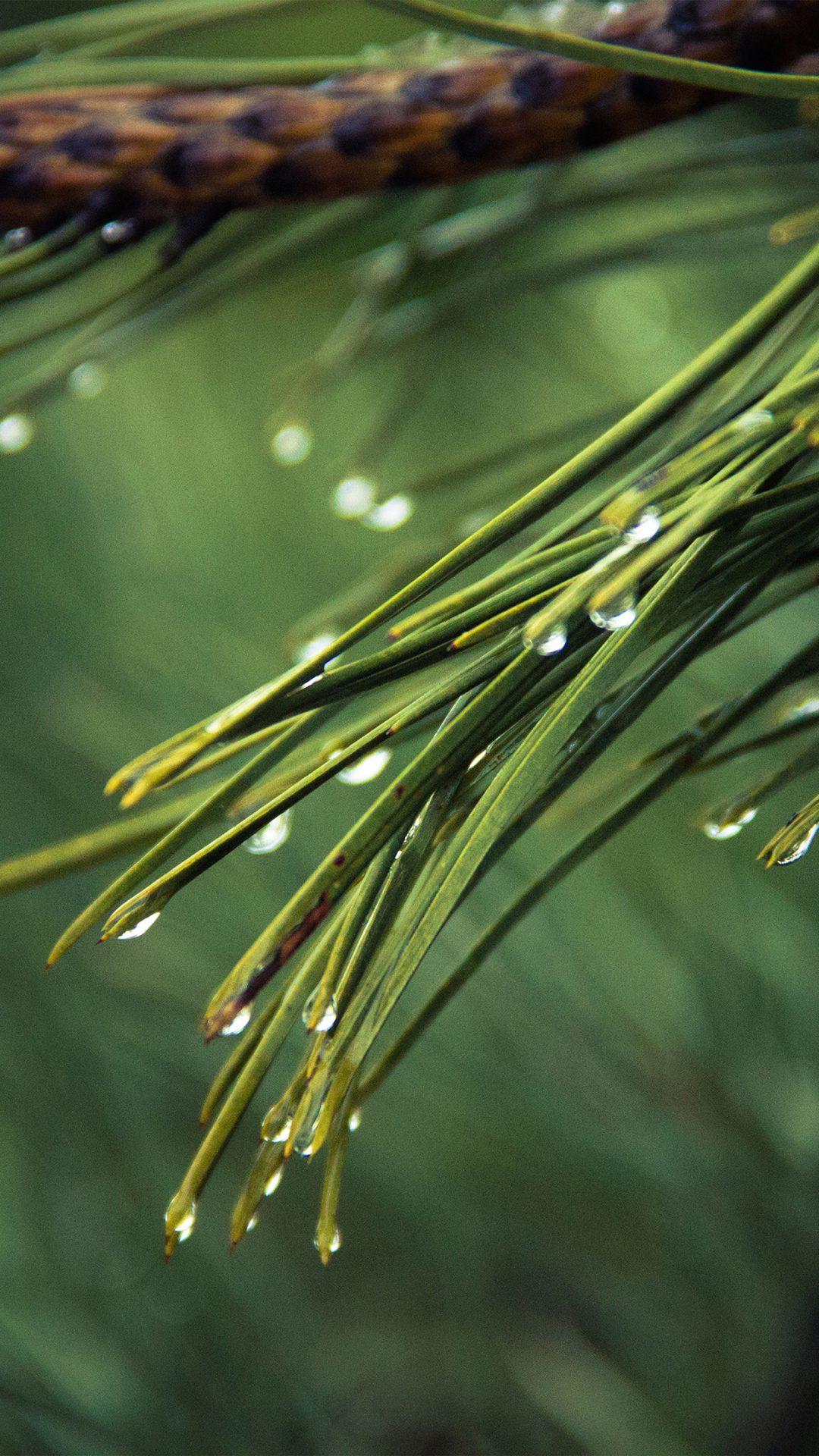 Rain Pine Tree Green Nature Mountain