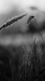 Reed Flower Nature Field Bw