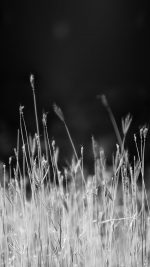 Reed Weed Flower Nature Flare Black Bw