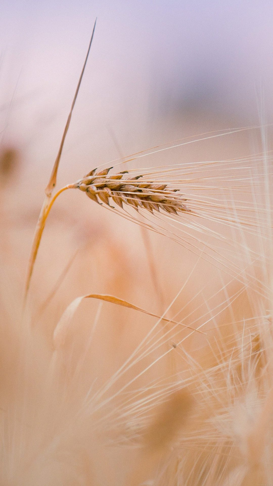 Rice Leaf Nature Bokeh Blur