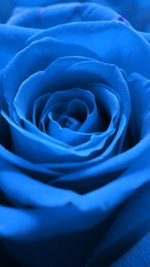 Rose Flower Blue Nature