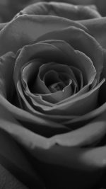 Rose Flower Dark Bw Nature