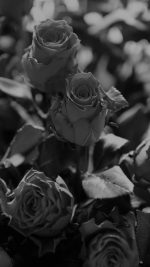Rose Flower Gift Red Nature Dark Bw