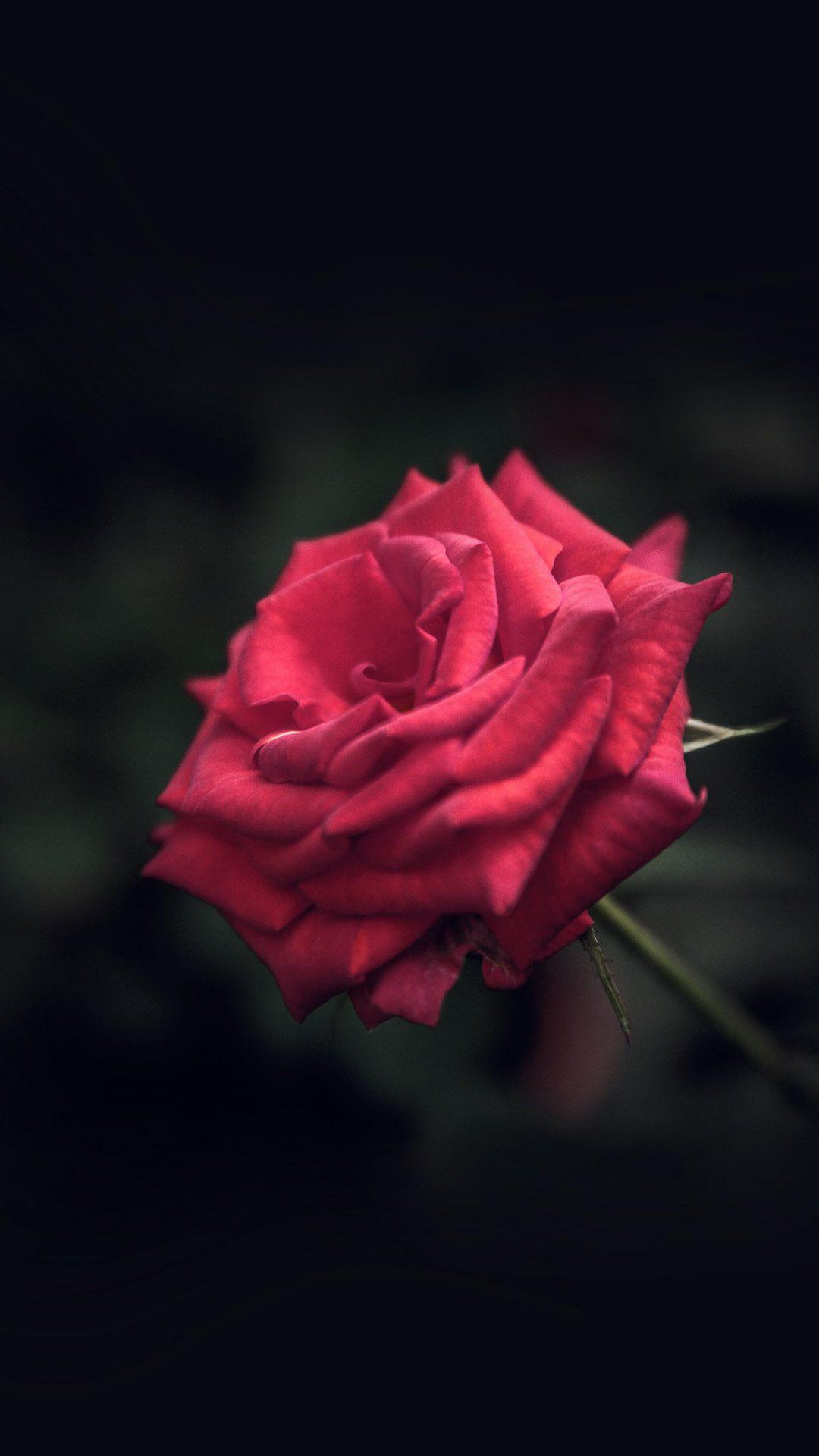 Rose Flower Red Love Nature Blue