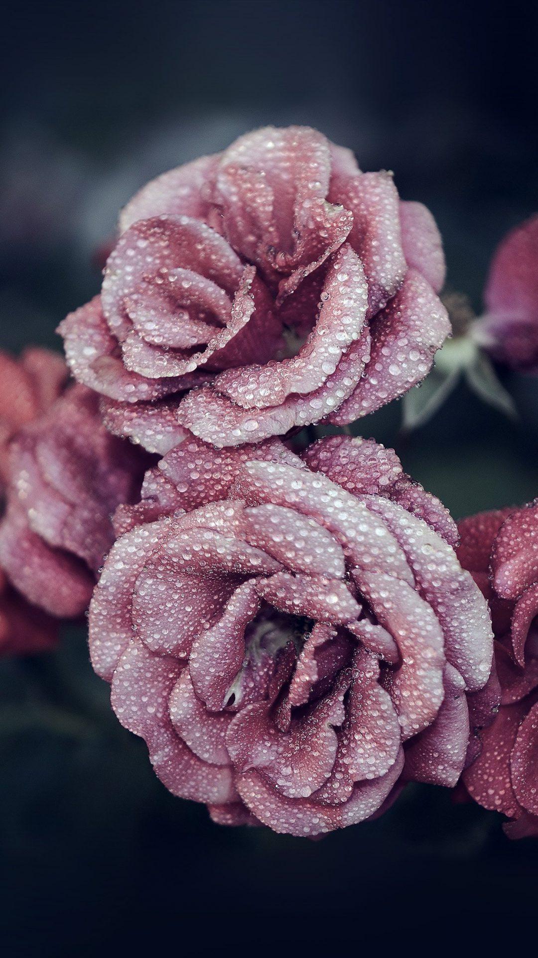 Rose Pink Raindrop Flower Summer Nature Blue