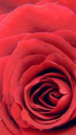 Rose Red Flower Nature Love