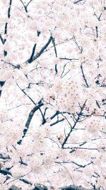 Sakura Cherry Spring Tree Flower Nature
