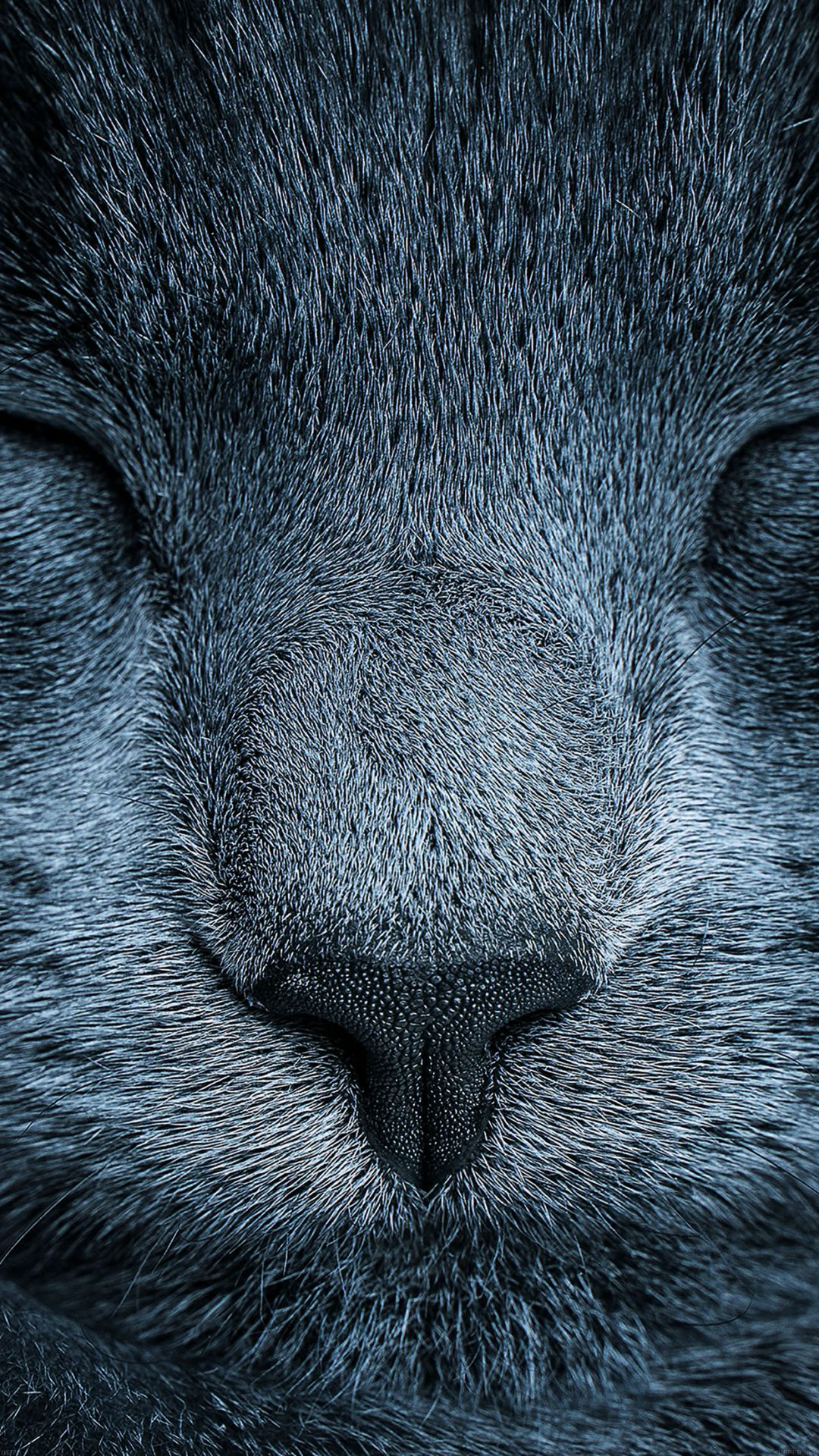 Sleeping Blue Cat Zoom Nature