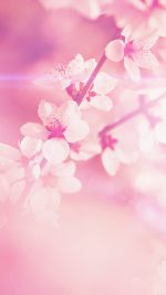 Spring Flower Pink Cherry Blossom Flare Nature