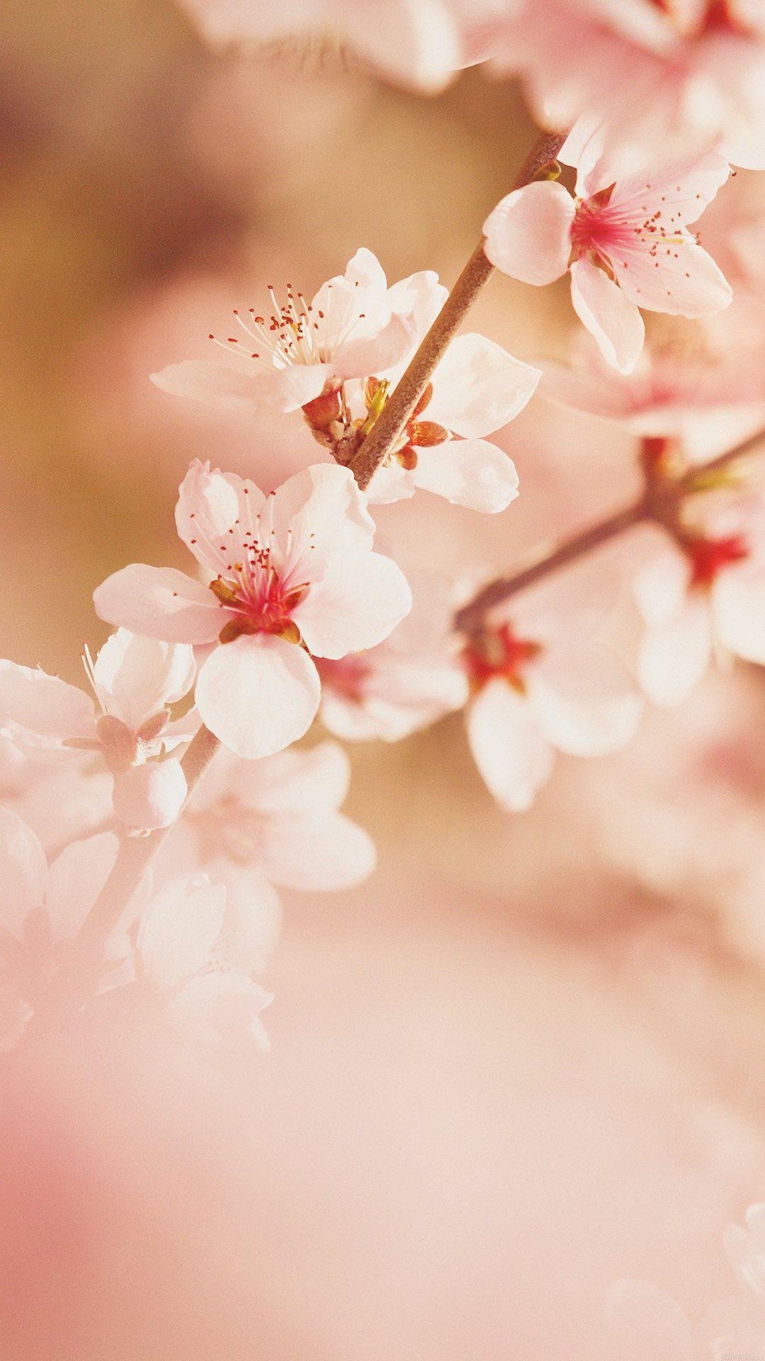 Spring Flower Sullysully Cherry Blossom Nature