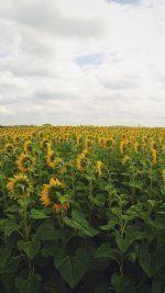 Sunflower Field Nature Flower Green