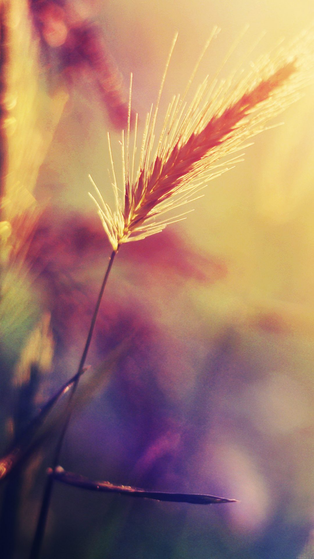 Sunset Reed Flower Flare Nature