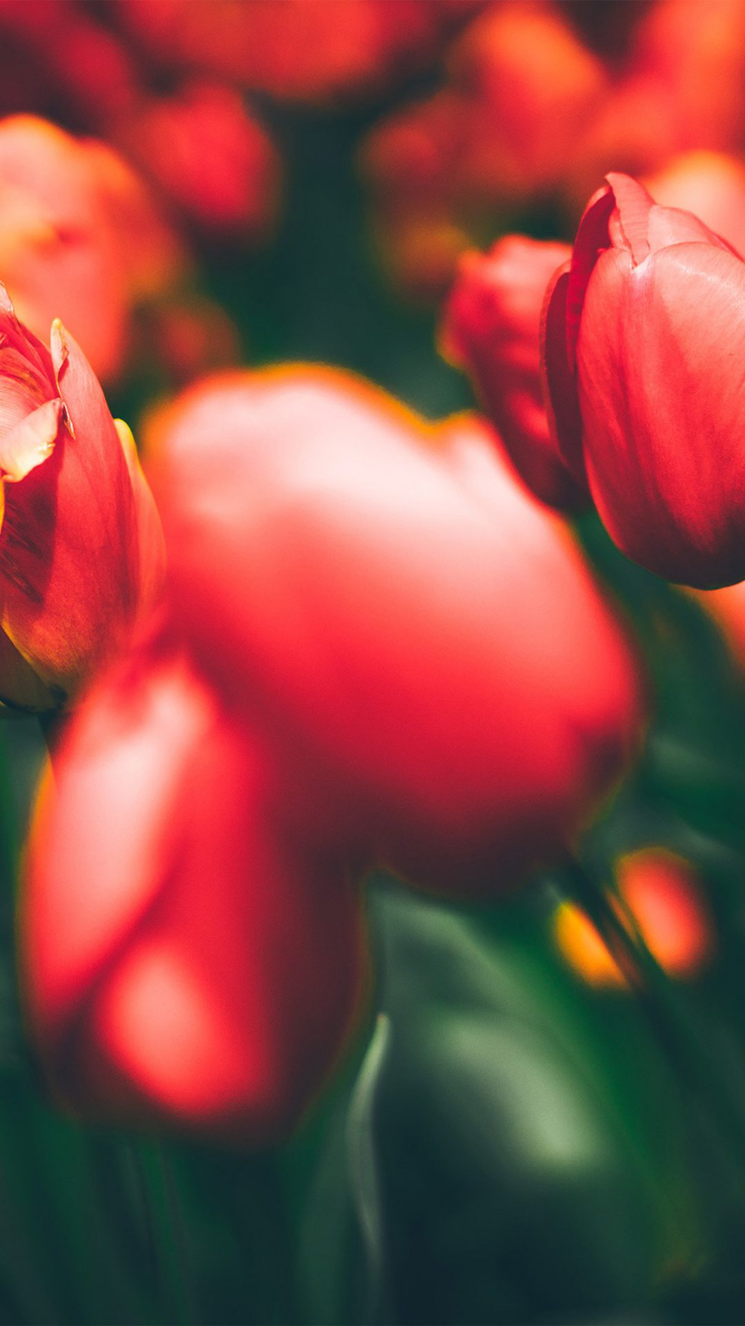 Tulips Red Flower Nature Sprin